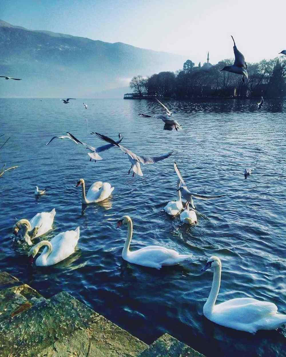 Λίμνη Ιωάννινα κύκνοι