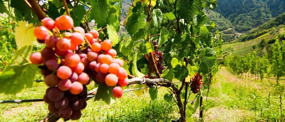 Κρασί_Ήπειρος_Αμπέλια_Ποικιλίες